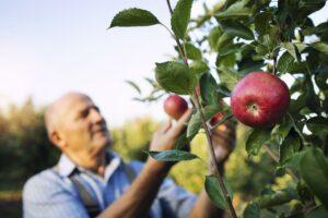 raccolta-mele-nel-frutteto