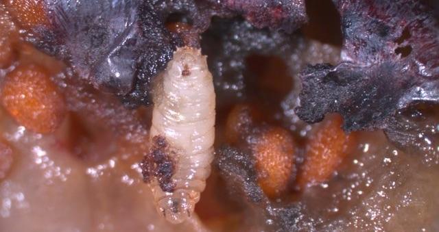 larva-di-drosophila-nella-frutta