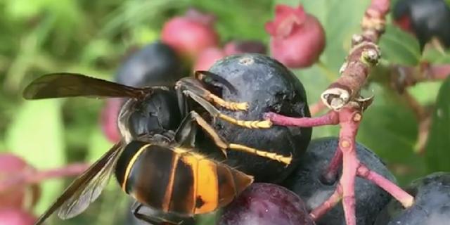 vespa-velutina-mange-fruit-mûr