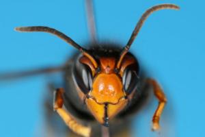 vespa velutina frelon asiatique