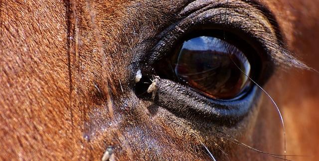 mosca-cavallina-occhio-cavallo
