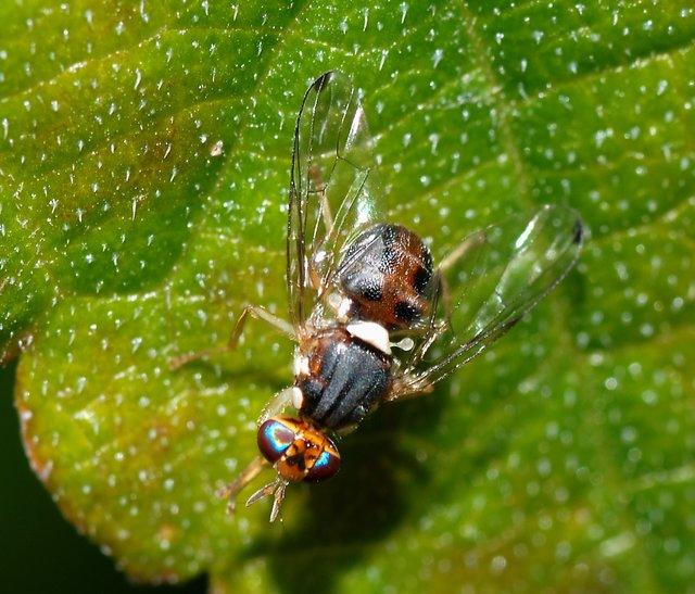 mosca-dell-olivo