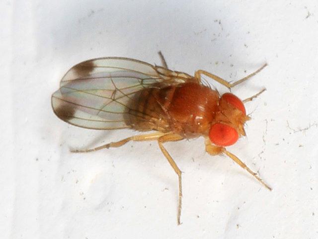 drosophila-suzukii-moscerino-della-frutta