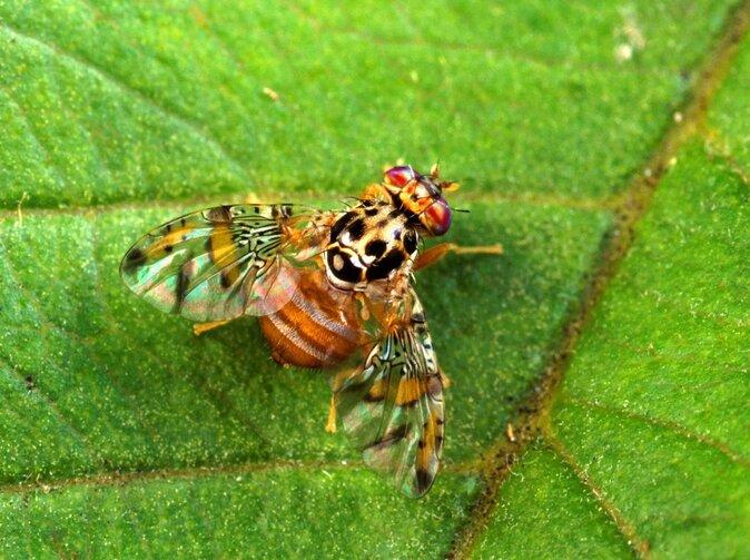 mosca-della-frutta