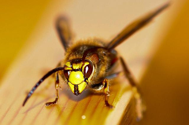 vespa-crabro